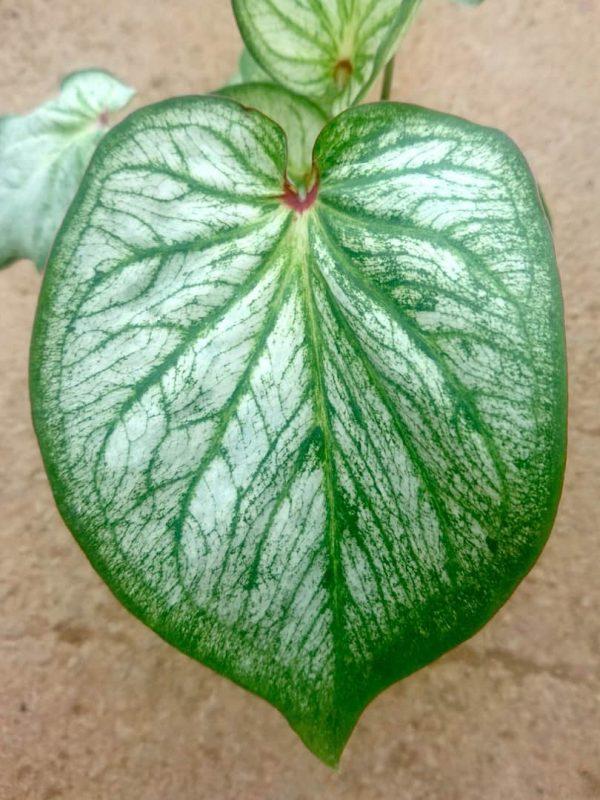 Caladium 'Debutante' » Exotic Foliage