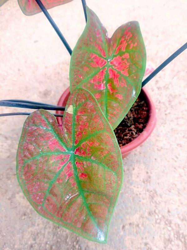 Caladium 'Green Spider' » Exotic Foliage