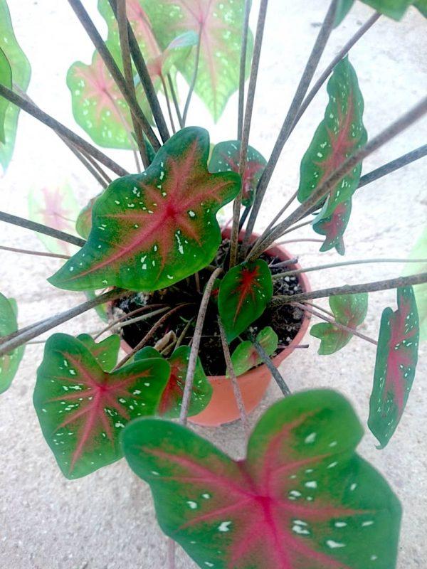 Caladium 'Red Star' » Exotic Foliage