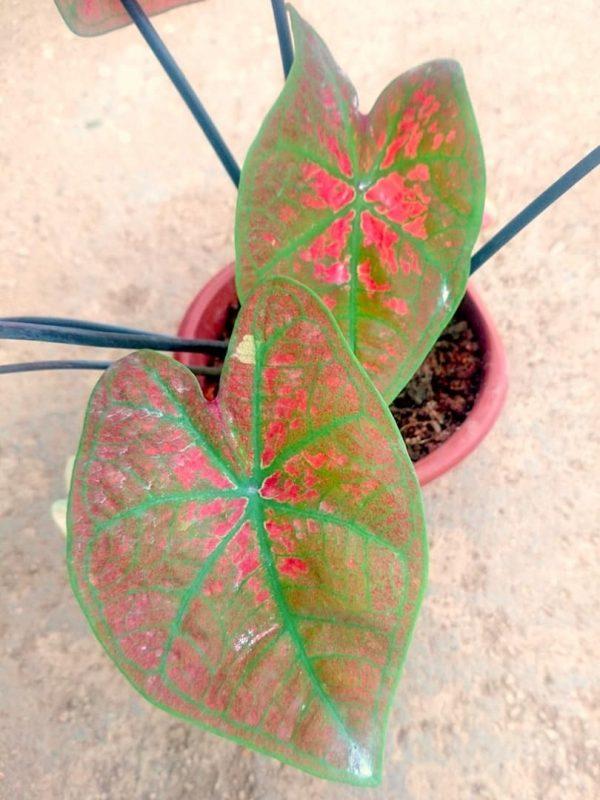 Caladium 'Super Daging' » Exotic Foliage