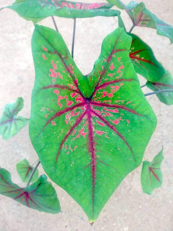 Caladium 'Thomas Tomlinson' » Exotic Foliage