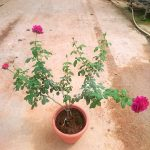 'Fisherman's Friend' Rose Plant » Rose Plants