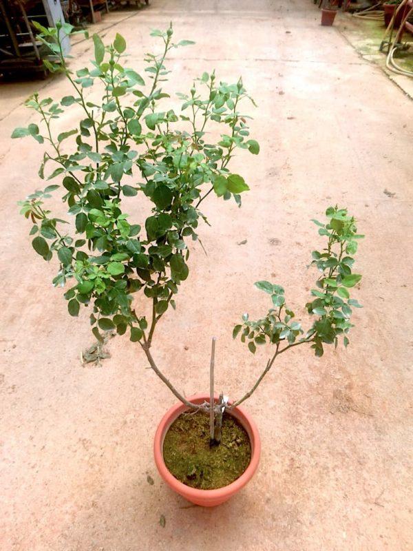 'Lilas' Rose Plant » Rose Plants