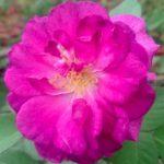 'Minerva' Rose