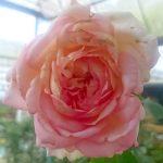 'My Girl' Rose